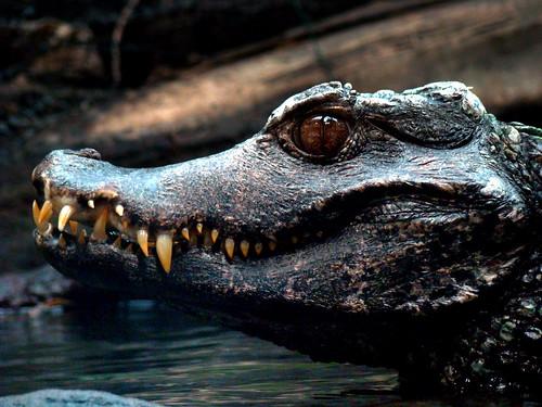 Evil krokodil!