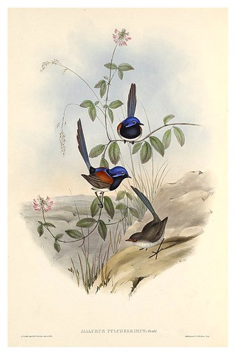 022-Reyezuelo precioso-The Birds of Australia  1848-John Gould- National Library of Australia Digital Collections