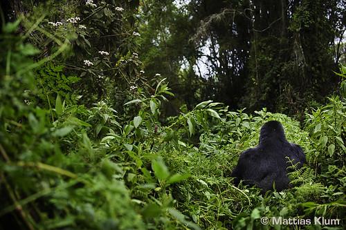 mountain_gorilla_3_Rwanda