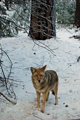 Coyote (pilz8) Tags: california coyote winter nature outdoors wildlife yosemite pilz8