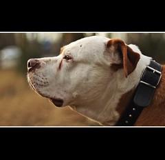 su lado bueno (elementoneutro) Tags: canon eos 50mm bulldog perro thor americano americanbulldog elementoneutro