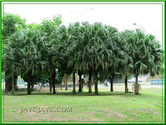 Livistona chinensis (Chinese Fan Palm, Fountain Palm): mass-planted at a roundabout