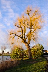 Willow (sillie_R) Tags: tree willow waal waaldijk