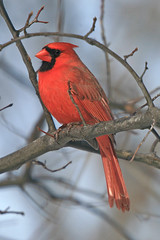 Cardinal (laszlo-photo) Tags: winter ohio red male bird nature canon cardinal wildlife january cardinaliscardinalis 180mm  x2extender