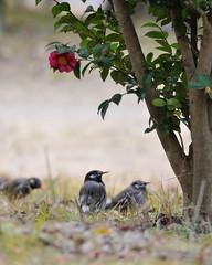 Sturnus cineraceus (myu-myu) Tags: flower bird nature japan nikon  camelliasasanqua camellia wildbird   impressedbeauty  d300s aiafsnikkor300mmf4difed