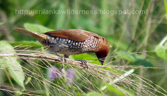 Scaly-breasted Munia(Lonchura punctulata)