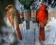 Cardinals-textured_9506 (JGKphotos) Tags: textured dragondaggerphoto magicunicornverybest selectbestfavorites selectbestexcellence sbfmasterpiece jgkphotos