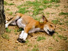 Спящий песик