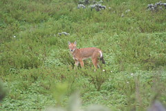 Ethiopian wolf (Solimar International) Tags: community conservation guassa areaethiopia