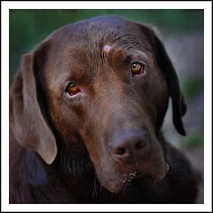 Marley (Cynthia Brown Images) Tags: dog pet brown cute texture nature animal square nikon friend labrador bokeh chocolate gorgeous german 365 chocolatelabrador 70200mm d90