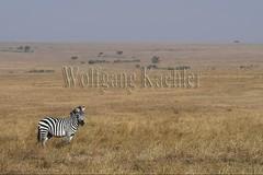 10078025 (wolfgangkaehler) Tags: 2016africa african eastafrica eastafrican kenya kenyan masaimara masaimarakenya masaimaranationalreserve wildlife zebras plainszebrasequusquagga burchellszebra burchellszebraequusquagga burchellszebras grassland grasslands
