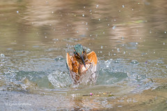 Kingfisher emerges with her catch D50_3777.jpg (Mobile Lynn) Tags: people birds wild petewhieldon kingfisher nature aves bird chordata coraciiformes face faces fauna wildlife otterbourne england unitedkingdom gb coth specanimal greatphotographers coth5 sunrays5