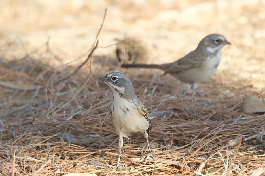 Sage Sparrow 11101-6