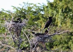 Early Nest Life (PelicanPete) Tags: nature unitedstates bright florida wildlife young wetlands cormorant southflorida treetop nests wakodahatcheewetlands doublebreastedcormorants delraybeachflorida earlynestlife