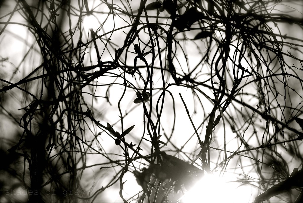 tangled tree vines/B&W