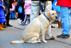 Alone In a Crowd (floralgal) Tags: people dog pet pets feet dogs animal animals goldenretriever goldenlab retriever pouch lonely crowds blockparty streetparty sadface olddog saddog lonelydog aloneinacrowd dogandfeet lonelyinacrowd crowdsoffeet crowdsofpeopleanddog holidayfairwithdog greenwichconnecticutholidayblockparty2010 saddoggyface oldgoldenlab