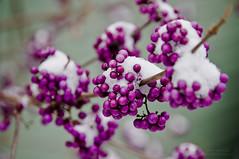 Callicarpa ' Profusion' (markhortonphotography) Tags: white snow ice canon berry berries purple cluster clusters surrey callicarpa profusion bodinieri eos7d bodiniieri