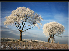 The day after........ (Chrisconphoto) Tags: trees white cold frost freezing sthelens crank merseyside chrisconway billinge minus6