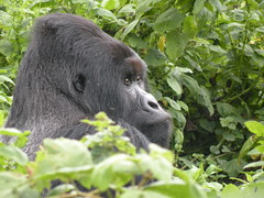 UgandaRwandaCongo2010 810 (sergio.agostinelli) Tags: gorilla congo himba virunga