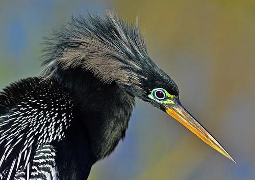 Anhinga, male, Everglades national park, Florida, USA / (Anhinga ...