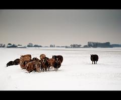 Snowy sheep (Focusje (tammostrijker.photodeck.com)) Tags: snow holland netherlands landscape sheep flock