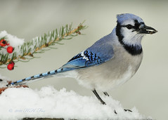 Bluejay and Snow (HFoxphoto) Tags: snow nature rain nikon wildlife bluejay raindrops 70200mm backyardbirds sb800flash winter2010 amazingwildlifephotography kentuckysongbirds