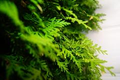 christmas tree (need a better name.) Tags: christmas xmas blur tree green leaves bright vibrant sony christmastree fir alpha dslr bold firtree sonyalpha dslra230
