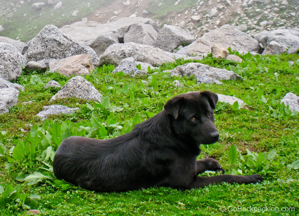 Black dog - mountains north of McLeod Ganj, India