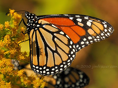 The Monarch migration is in full swing (Jim Frazier) Tags: statepark park door trip travel flowers autumn wild summer vacation orange plants flower fall nature floral animals yellow closeup fauna wisconsin feast butterfly flora nikon natural feeding eating wildlife blossoms goldenrod butterflies sunny insects brush bugs september lepidoptera eat monarch perch dining perched wildflowers traveling dine migration whitefishbay wi scrub feasting doorcounty leps 2010 savanna undergrowth sturgeonbay perching d90 q4 capturenx nikoncapturenx lddecember ld2010 ©jimfraziercom 20100905doorcounty 100905c