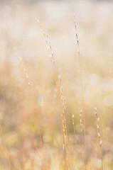dlicate et zen (jean baptiste thouron) Tags: macro nature plante pastel flare brin herbe sauvage minimaliste gramine