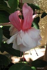 Fuchsia 'Mary Ellen Guffy' (pennyeast) Tags: flower botanical fuchsia capetown papaalphaecho