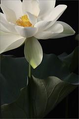 White Lotus Flower - IMG_2925-800 (Bahman Farzad) Tags: white flower macro yoga peace lotus relaxing peaceful meditation therapy lotusflower lotuspetal lotuspetals lotusflowerpetals lotusflowerpetal