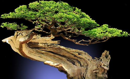 """Bonsai004 • <a style=""""font-size:0.8em;"""" href=""""http://www.flickr.com/photos/30735181@N00/5261954798/"""" target=""""_blank"""">View on Flickr</a>"""