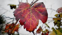 sospesa (Comunicante) Tags: leaf vine grape vite