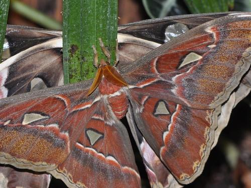 Atlas Moths mating... do not disturb... December 2010
