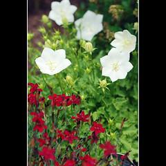Rouge et blanc (judith&sevigny) Tags: red white flower green fleur rouge vert dianthus blanc campanule oeillet