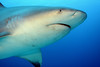 """Bull Shark • <a style=""""font-size:0.8em;"""" href=""""http://www.flickr.com/photos/45090383@N06/5272020328/"""" target=""""_blank"""">View on Flickr</a>"""