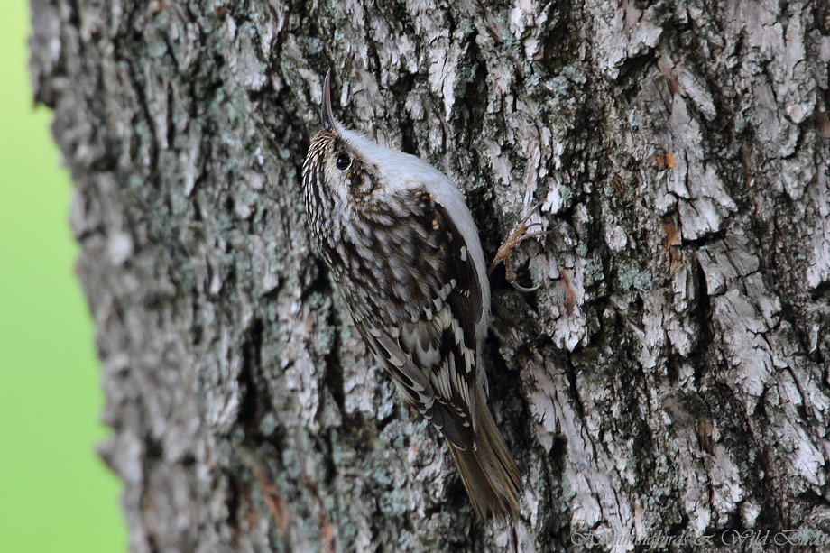 Brown-Creeper-111008