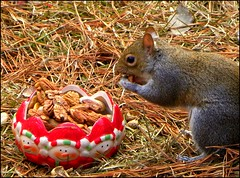 Everybody Loves A Treat (ChicaD58) Tags: cold nature animal garden outdoors rodent backyard squirrel eating critter peanuts hungry almostwinter picnik pecans whataprofile thegoodiebowl