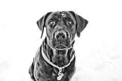 [フリー画像] 動物, 哺乳類, イヌ科, 犬・イヌ, モノクロ写真, ラブラドール・レトリバー, 201012271100