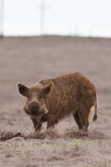 Wild boar Wild Pig San Simeon CA 25Dec2010