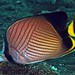 Indian vagabond butterflyfish - Photo (c) divemecressi, some rights reserved (CC BY-NC-SA)
