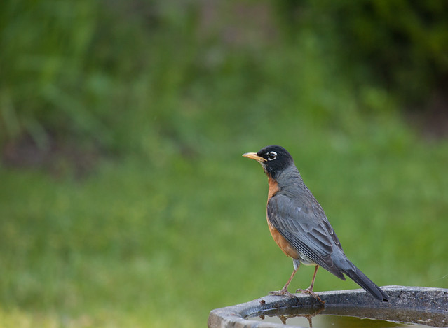 American Robin and Bird Bath