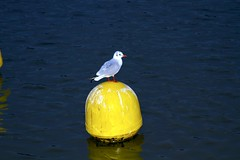 Gull on Buoy (James Simison) Tags: water yellow thames seagull buoy surreyquays buoyant canon7d