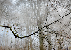 Branch in the Mist, Wales (welshio) Tags: travel autumn trees winter mist tree nature leaves silhouette misty fog southwales wales composition contrast forest dark landscapes ancient woods flora woodlands scenery quiet gloomy sinister perspective cardiff peaceful eerie calm scan haunted creepy depthoffield spooky views mysterious romantic mystical remote lonely nightmare deciduous ghostly picturesque legacy lightandshadow tranquil atmospheric beech mystic pictorial enchantedforest sleepyhollow treetrunks beechtrees lightdark classiccomposition naturallandscapes mirkwood mirky deciduouswoods spookyscene britishlandscapes treesinthemist thesecretlifeoftrees