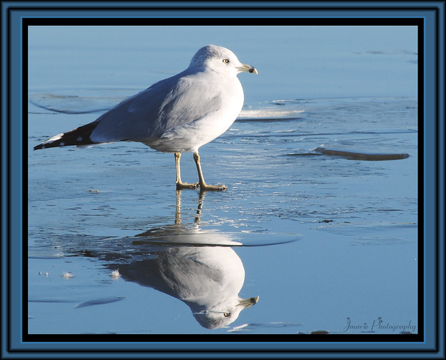 Seagull Reflections