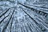 Loooong birches [Explored] (Aspiriini) Tags: winter forest koivu birch talvi metsä littoinen explored koivut jonilehto tokina1116 aspiriini