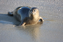 IMG_3046 (San Diego Shooter) Tags: sandiego lajolla seal seals lajollaseals