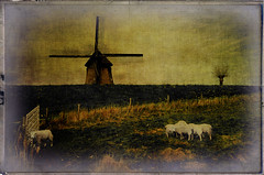 Sheep Gathering (Peter Femto) Tags: tree green nature netherlands windmill grass animals rural landscape tiere spring sheep natur meadow wiese textures fields layers pastoral mammals landschaft baum textured frhling woolly schafe windmhle wolle flockofsheep lndlich schafweide sheeprun sugetiere nordholland nikond300 tatot flypapertextures