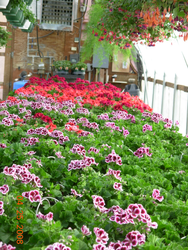 The World's Best Photos of geraniums and greenhouse - Flickr